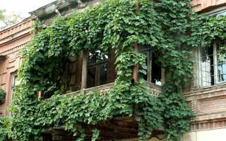 Виноград на балконе: выбираем сорт и готовим почву