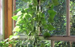 Огурцы на балконе: выращивание и сорта