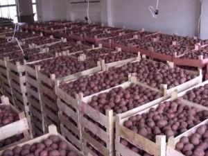 перебрать картофель